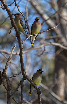 Dee Carpenter - Cedar Waxwings