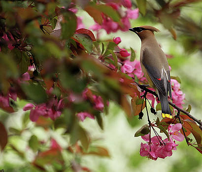 CedarWaxwing in a Crabapple Tree by Kelly Lucero