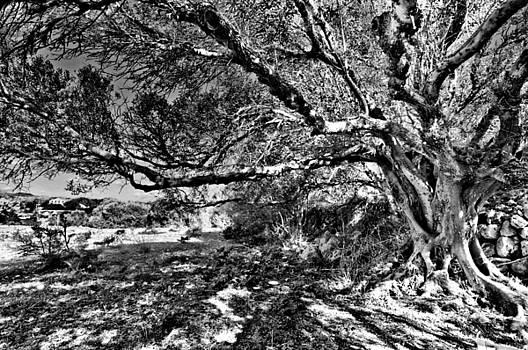 Pedro Cardona Llambias - Centennial tree in cornia by pedro cardona