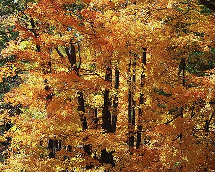 Central Park tree I by Marilu Windvand