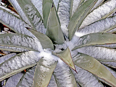Century Plant in Snow by Gene Garrison