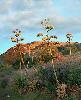 Century Plant by Tim Fitzharris