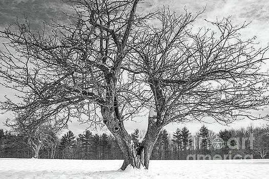 Centuries old apple tree in winter by Edward Fielding
