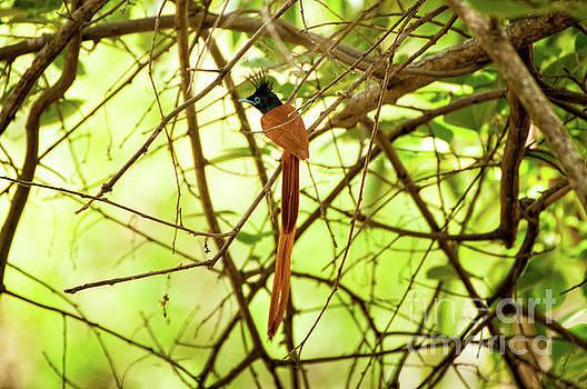 Ceylon paradise flycatcher by Venura Herath