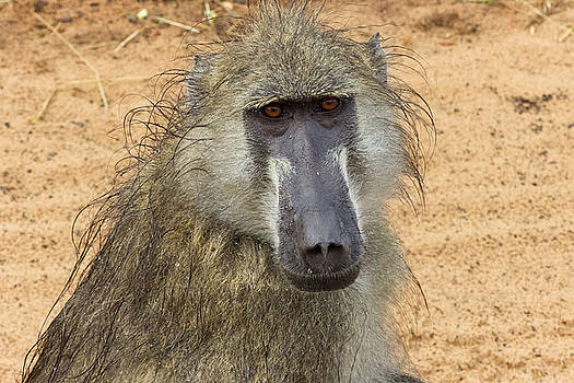 Chacma Baboon in Botswana by Joscelyn Paine