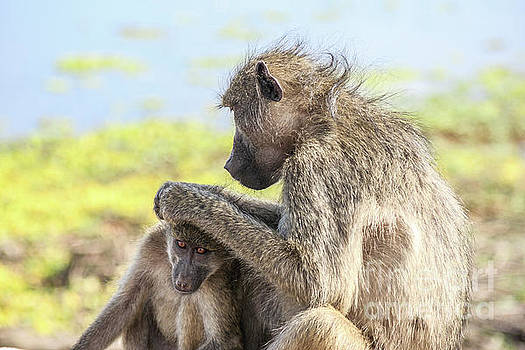 Chacma baboons by Petrus Bester