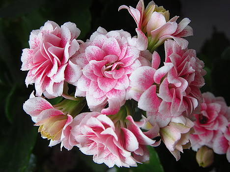 Chalanhoe Blossom by Galina Todorova