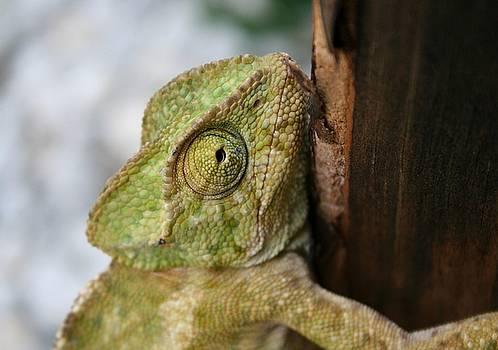 Tracey Harrington-Simpson - Chameleon Hanging On To A Door