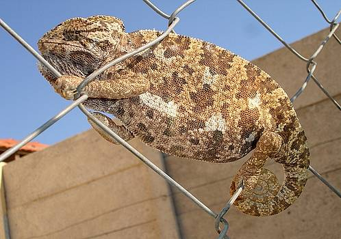 Tracey Harrington-Simpson - Chameleon In Shades of Brown on Fence