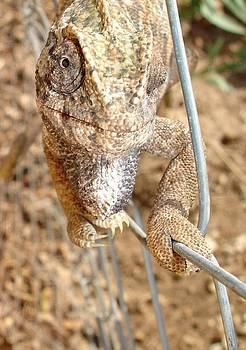Tracey Harrington-Simpson - Chameleon Walking on A Wire