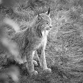 Champion Mama Lynx bw by Tim Newton