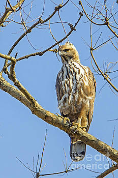 Pravine Chester - Changeable hawk-eagle