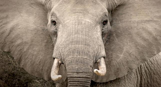 Charging Elephant by Tina Broccoli