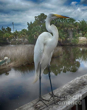 Charlie the Great Egret by Judy Hall-Folde