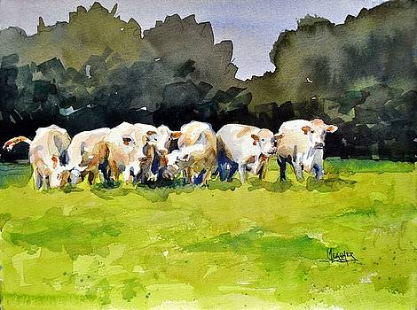 Charolais Herd by Spencer Meagher