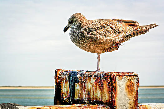Chatham Gull by Jim Gillen