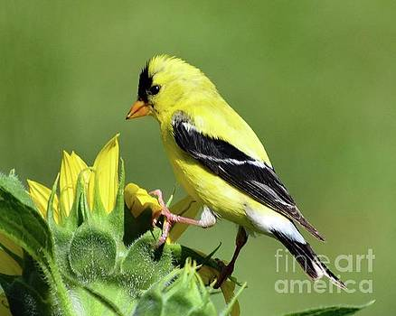 Cindy Treger - American Goldfinch Checking Out The Sunflower