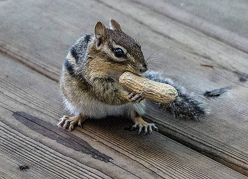Cheeky Chipmunk, Ontario, Canada by Venetia Featherstone-Witty