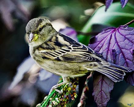 Chris Lord - Cheeky Sparrow