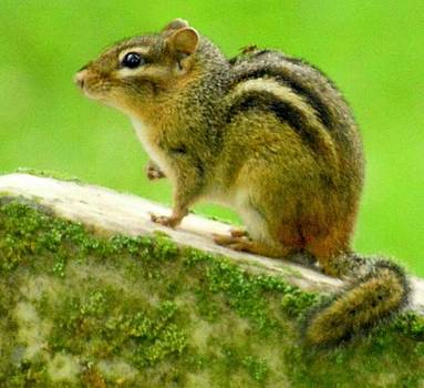 Cheerful Chipmunk  by Sumoflam Photography