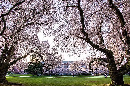 Cheery blossom - University Washington by Hisao Mogi