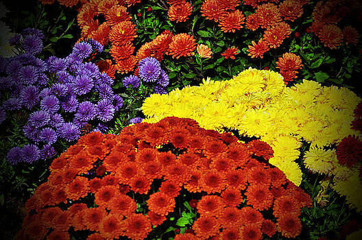 Debra  Miller - Cheery Bright Chrysanthemums