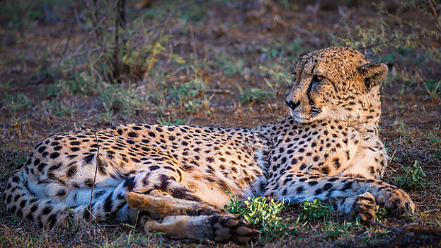Cheetah at Rest by George Salter