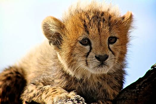 Cheetah Cub by Matthew Keoki Miller
