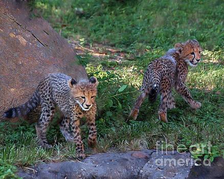 Cheetah Cubs by TN Fairey