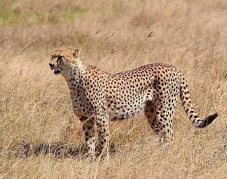 Diane Kurtz - Cheetah