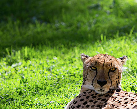 Cheetah Face by Rebecca Cozart