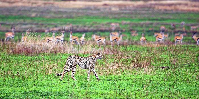 Cheetah Hunting by Sally Weigand