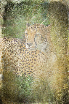 Cheetah I by Off The Beaten Path Photography - Andrew Alexander