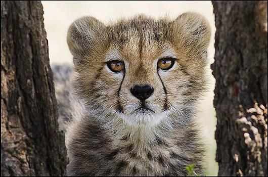 Cheetah II by Bob Falconer