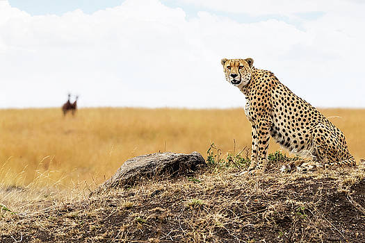 Susan Schmitz - Cheetah in Africa Looking Into Camera