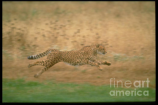 Cheetah In Flight by Sandy Carey