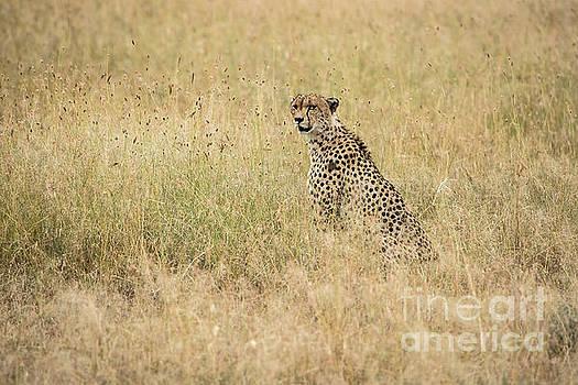 Cheetah in the Savannah by Pravine Chester