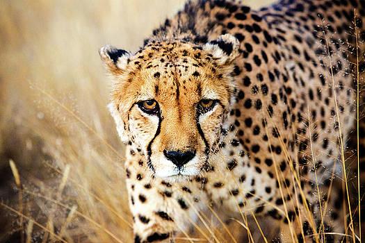 Cheetah by Matt Cohen