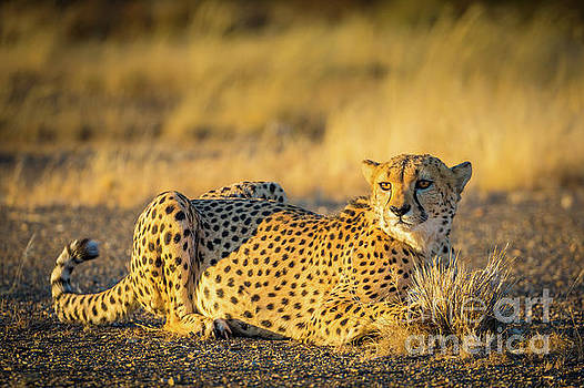 Inge Johnsson - Cheetah Portrait