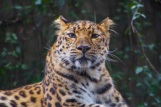 Cheetah Portrait by Kimberly Blom-Roemer