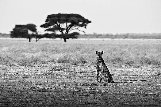 Cheetah surveying his plains by Andrew Morgan