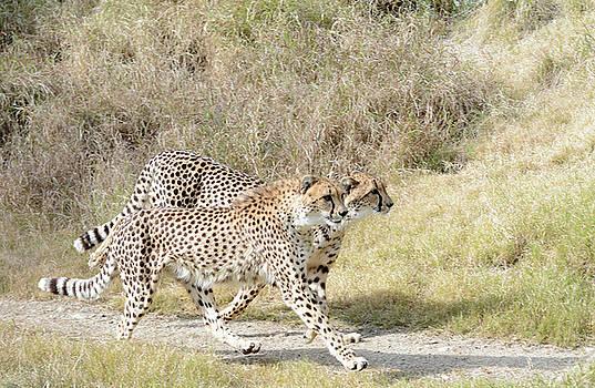 Fraida Gutovich - Cheetah Trot 2