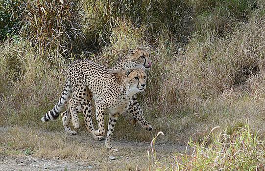Fraida Gutovich - Cheetah Trot
