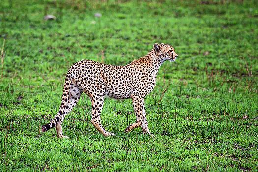 Cheetah Walking by Sally Weigand