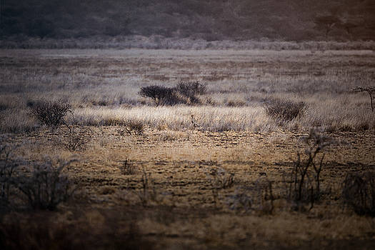 Cheetah watches it's future prey by Justin Carrasquillo