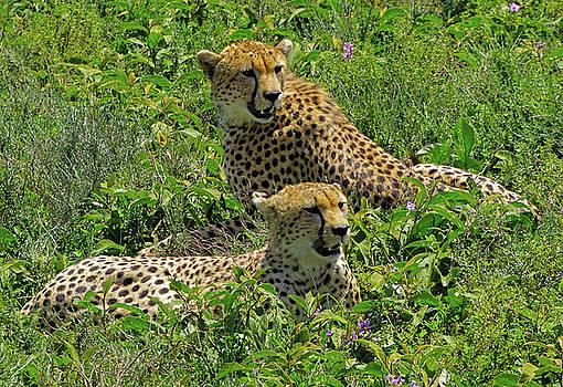 Dennis Cox WorldViews - Cheetahs Waiting