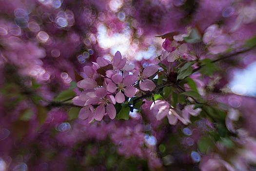 Cherry blossom bokeh by Sharon Wilkinson