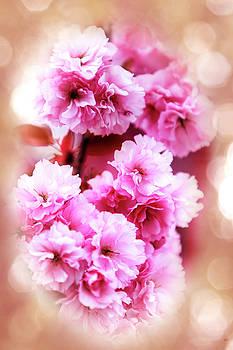 Cherry Blossom by David Millenheft