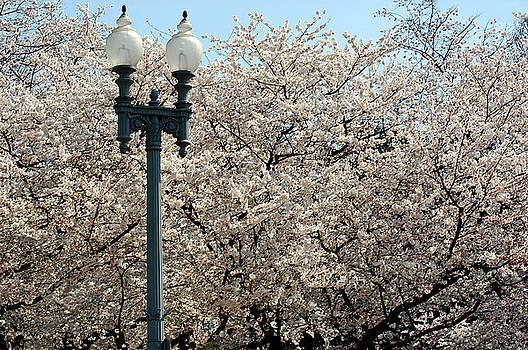 Clayton Bruster - Cherry Blossom Festival