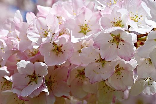 Andrew Davis - Cherry Blossom Flowers Macro